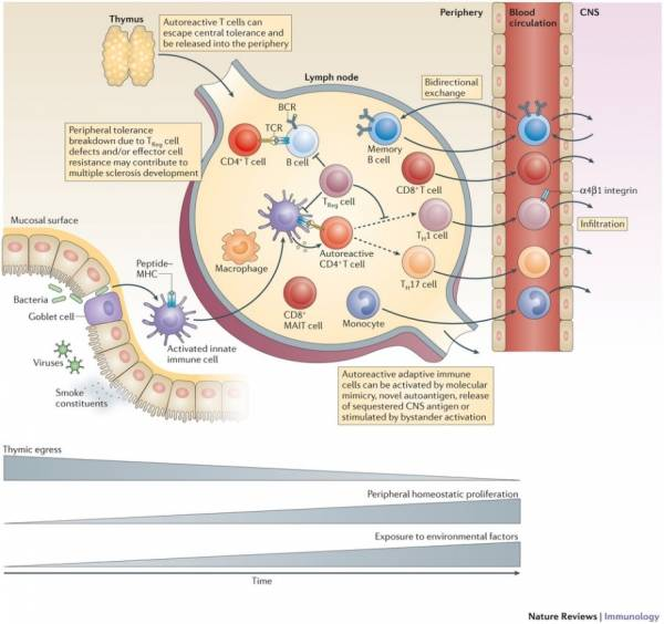 The Role of Myelin Sheath in Multiple Sclerosis